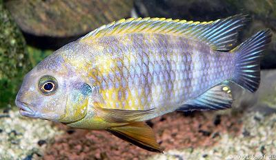 Tlamovec Tropheops sp. Mauve Yellow / Tropheus sp. Mauve Yellow