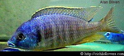 Placidochromis sp. Electra Blackfin / Placidochromis sp. Electra Blackfin