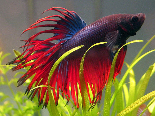 Bojovnice pestrá var. Crowntail / Betta splendens Crowntail