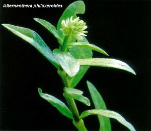 Alternanthera philoxeroides / Alternanthera philoxeroides