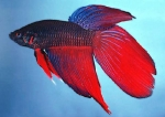 bojovnice pestrá(Betta splendens)