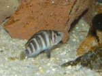 Altolamprologus sp. compressiceps Sumbu